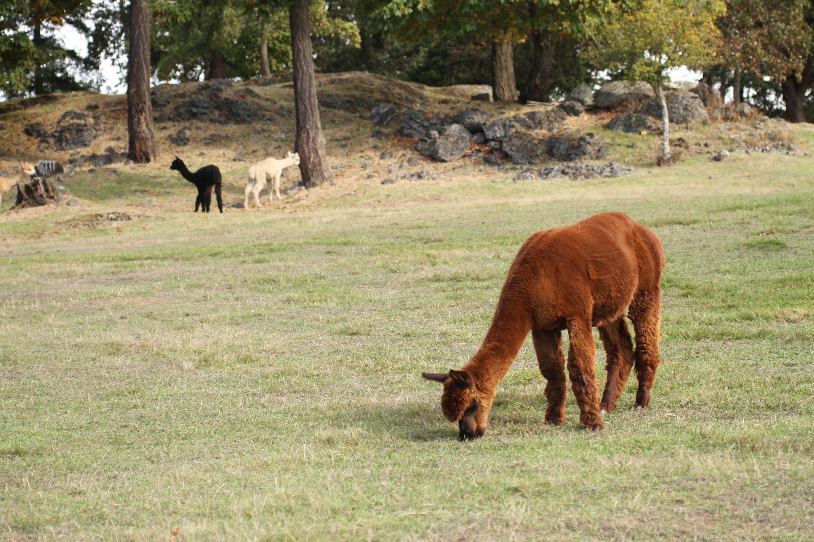 Alpacas at the Krystal Acres Alpaca Farm