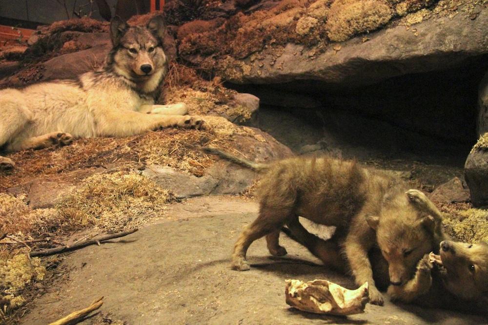 WolfDiaramaManitobaMuseum