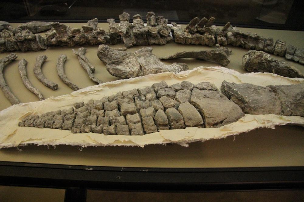 plesiosaurpaddle
