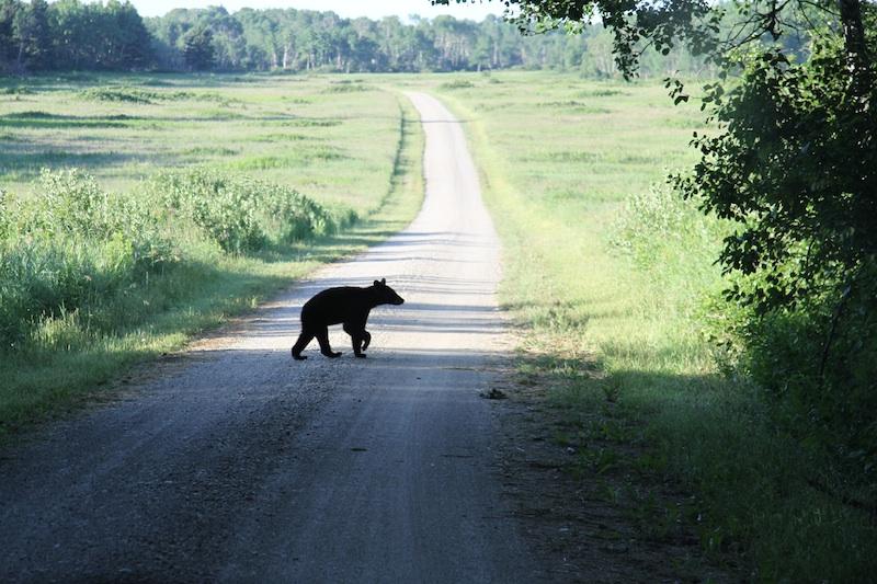 Black Bear in Riding Mountain National Park. Photo: Robyn Hanson