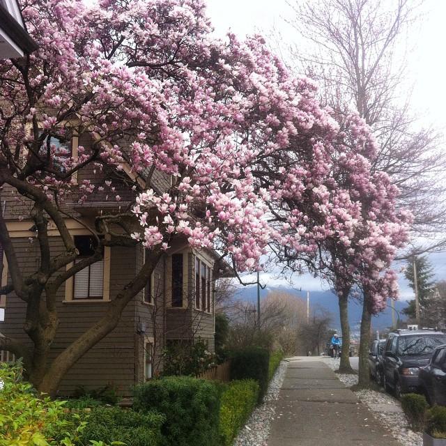 Magnolias in Vancouver. Photo: Robyn Hanson
