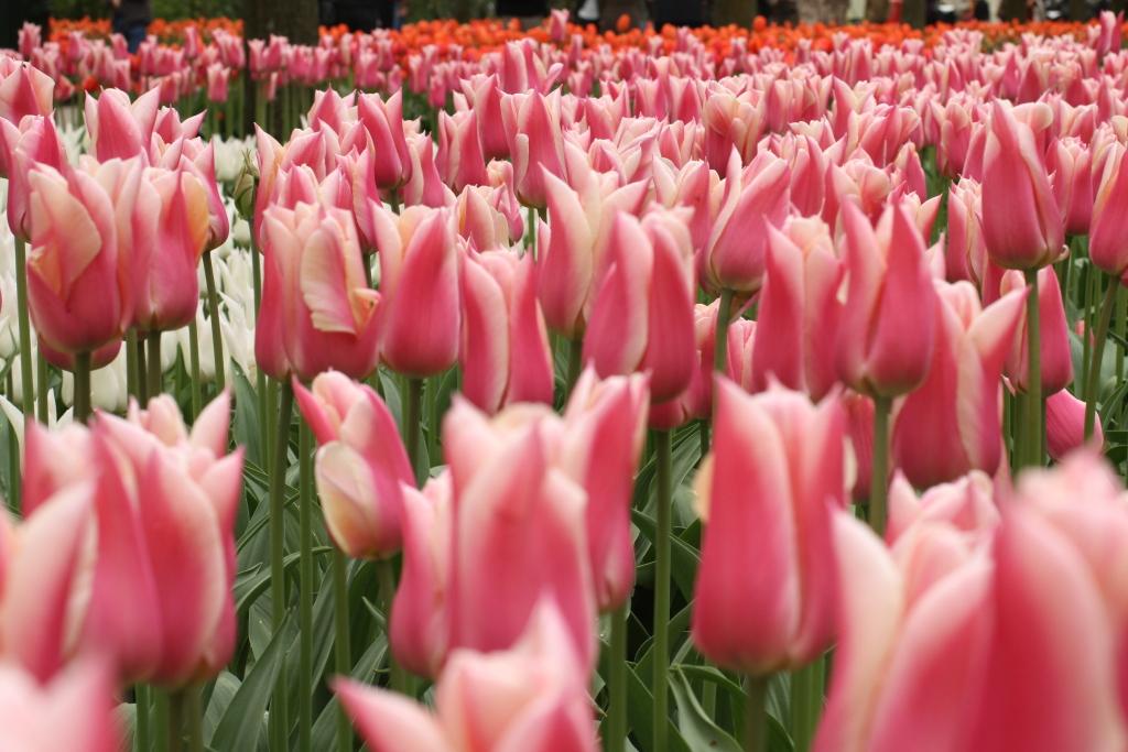 Pink tulips in Keukenhof