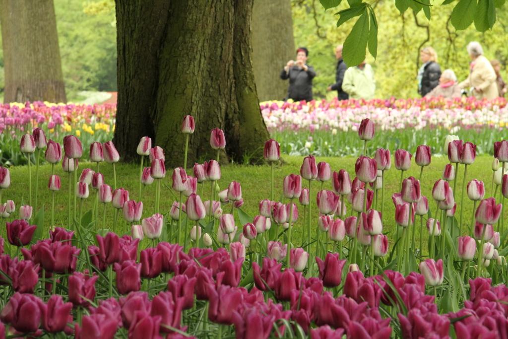 Tulips in bloom at Keukenhof Garden